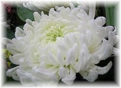 ChrysanthemumLight