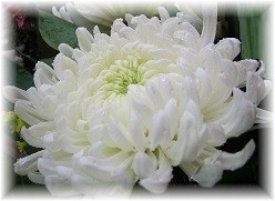 ChrysanthemumLight